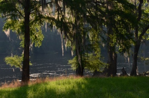 Morning light brightens a stand of cypress along the Flint near Newton.