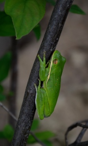 A tree frog clings to a riverside branch.